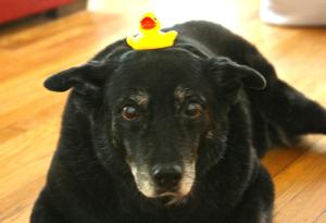 mutt_duck