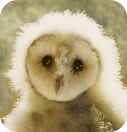 owl_baby
