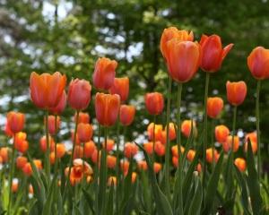 tulips blooming in garden