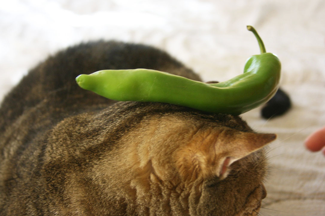 cowboy_green_pepper